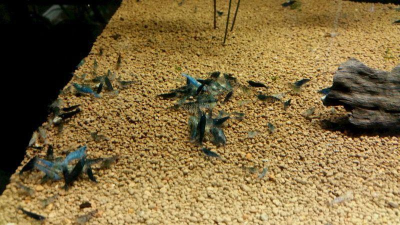 画像2:  『C-3 Mars』  8ℓ ザリガニやタイガー系のエビにオススメ