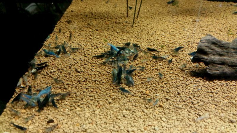 画像2:  『C-3 Mars』  8ℓ ノーマルタイプ ザリガニやタイガー系のエビにオススメ